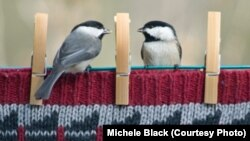 Carolina chickadees perch on a clothesline in Ohio in one of the winners of the Great Backyard Bird Count 2013 photo contest (by Michele Black).