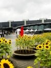 Sunflowers at Schiphol Airport near Amsterdam commemorate the 298 people who died when flight MH17 was shot down on July 17, 2014 over sunflower fields in the Donbas.