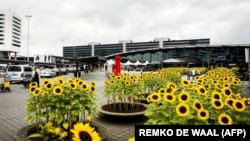 Sunflowers at Schiphol Airport near Amsterdam honor the memory of those killed in the downing of flight MH17.