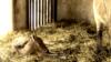 Печальная история жеребенка Пржевальского