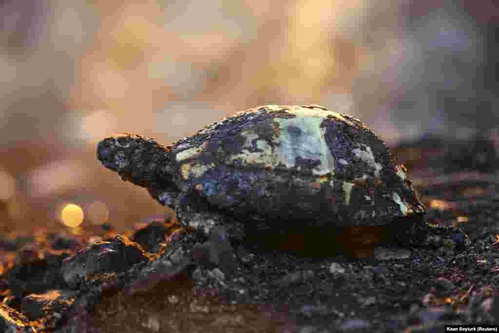 Egy teknős maradványai a tűz után a török Manavgat közelében