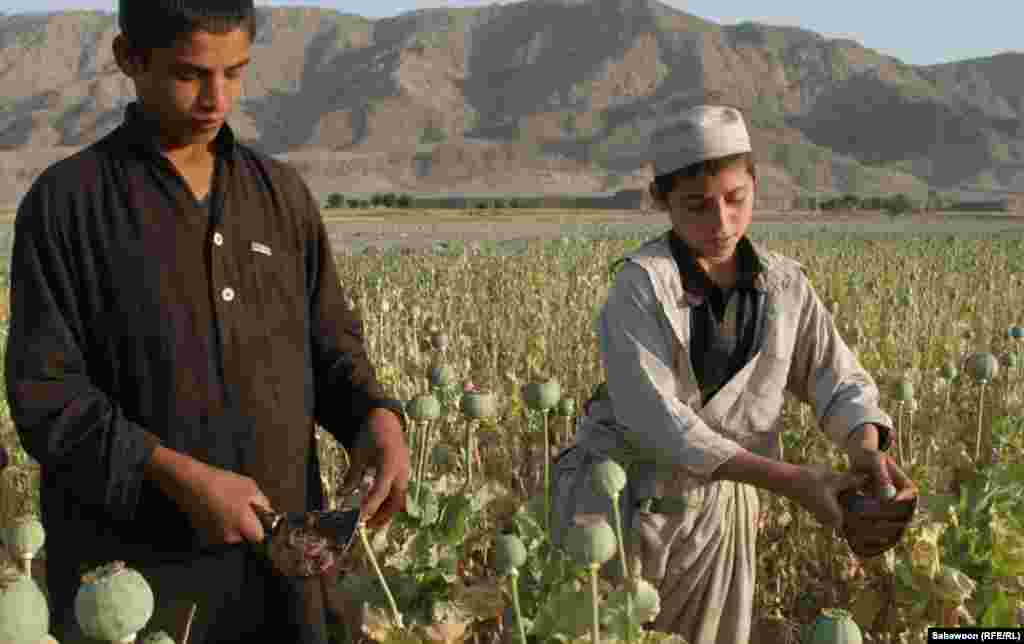 Niamatullah, 14, and Ataullah, 12, work in the poppy fields in Nangarhar Province, east of Kabul. They would like to go to school, but there are no places available at the school in their village. They want to become doctors when they grow up.