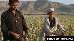 Афганские дети работают в поле, где растет опиумный мак. Иллюстративное фото.