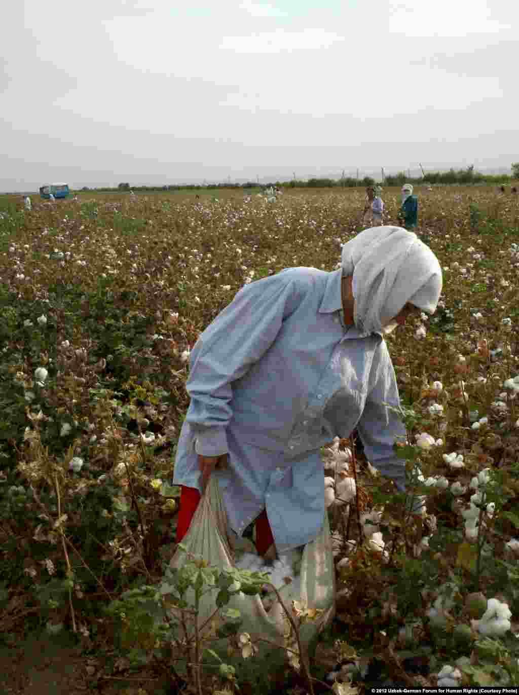 A woman who identified herself as a teacher picks cotton in Jizzakh Province on September 25, 2012.