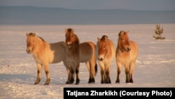 Przewalski's horses on the steppe in Russia's Orenburg reserves.