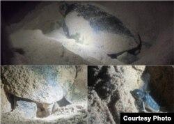 Ташбакалар йомырка сала.Дөньяга килгән нәниләр Һинд океанына ашыга