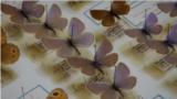 Бабочки из коллекции В. Набокова