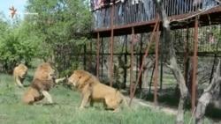 Бійка левів