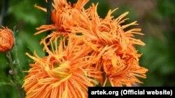 Никитский ботанический сад, хризантема «Сердце Артека», фото 11 ноября 2016 года