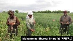 ښاغلي نصرت وايي، افغانستان کې د نشه يي موادو د قاچاقو بل اړخ بهرنی اړخ دی