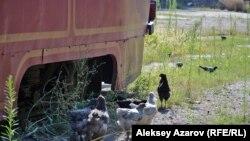 Алматы депосында қаңтарылып тұрған трамвай жанында жүрген тауықтар. 9 тамыз 2016 жыл.