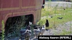 На территории притихшего трамвайного парка в Алматы сейчас можно увидеть петуха и куриц. Алматы, 9 августа 2016 года.