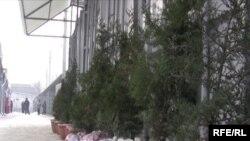 Точка, где торгуют живыми ёлками в Бишкеке