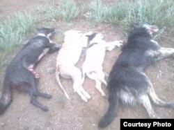 Убитые местными охотниками животные.