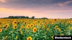 Suncokreti, ilustrativna fotografija