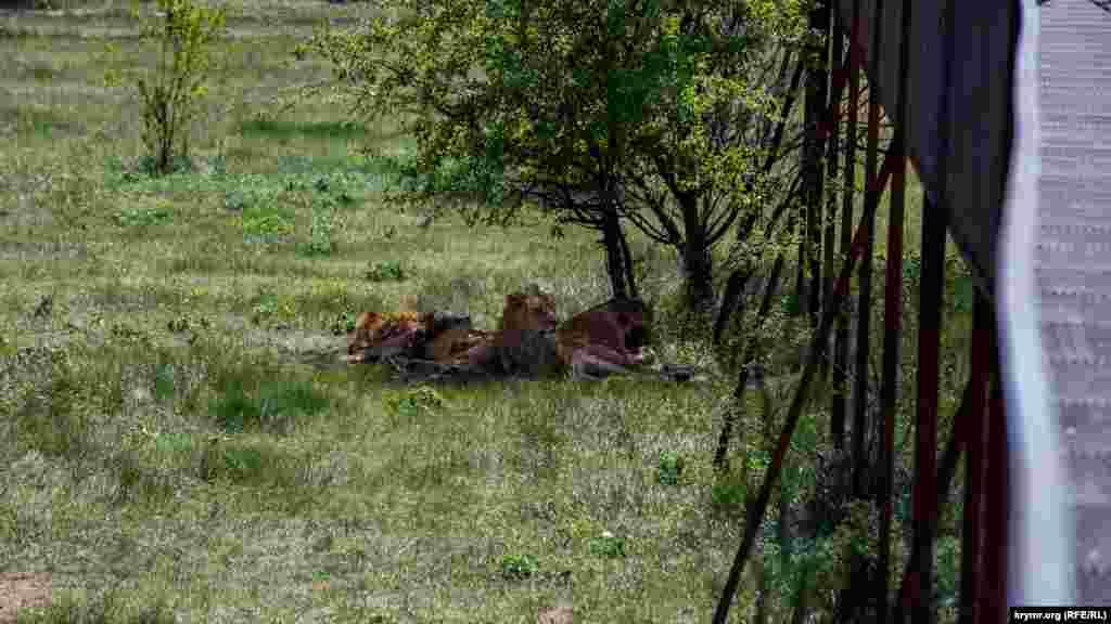 В отличие от леопардов, гепардов и тигров, львы редко встречаются поодиночке.
