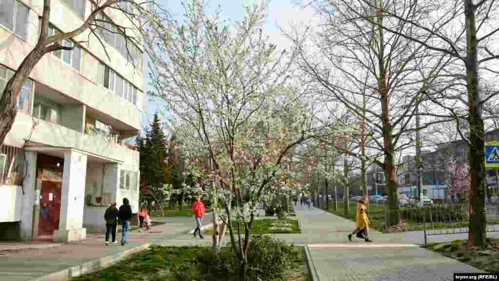 А эта слива цветет возле пешеходного перехода у кинотеатра «Москва» – по другую сторону от парка. Мимо этого дерева ежедневно проходят тысячи местных жителей