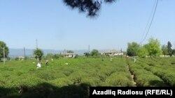 Astara rayonunda çay plantasiyası, may 2021