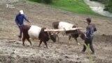 Волы вместо трактора. Как трудятся фермеры села Кайынды