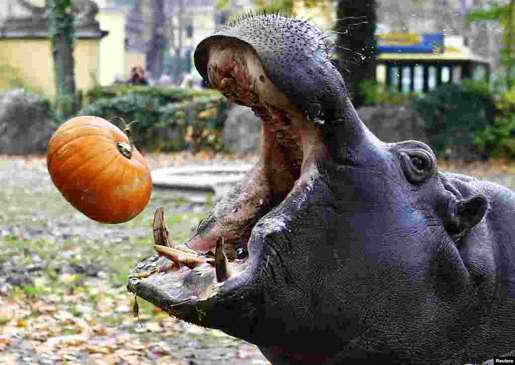 A hippopotamus catches a pumpkin during Halloween celebrations in the Tiergarten Schoenbrunn zoo in Vienna. (Reuters/Leonhard Foeger)