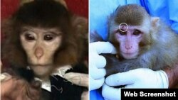 """Фотографии двух разных обезьян в сообщениях СМИ о запуске Ираном космического аппарата """"с обезьяной на борту""""."""