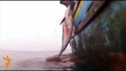 Полювання на дельфінів у Перу