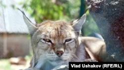 Рысь в Центре защиты диких животных в Караколе, 2011
