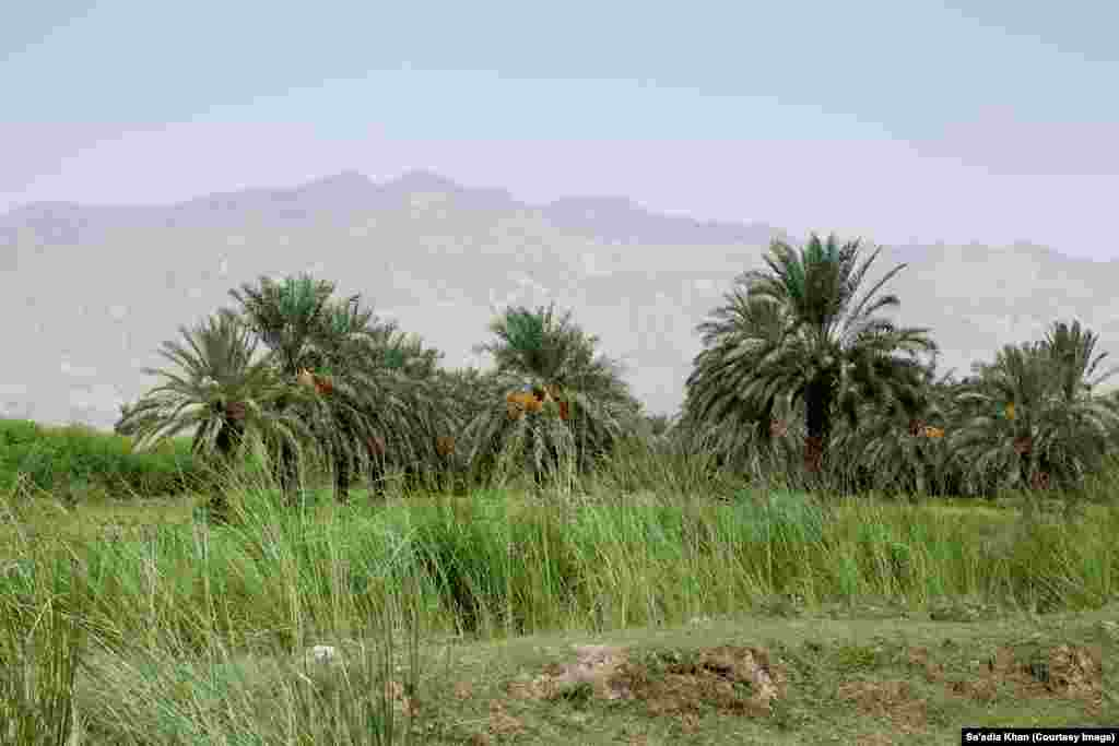 The view of a date plantation in Dhaki, Dera Ismail Khan. The region's hot climate in Pakistan's northwestern Khyber Pakhtunkhwa province supports date production. Some 100 plantations the region produce 90,000 kilograms of dates annually.