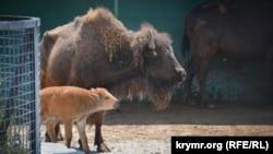 Новонароджений бізон в сафарі-парку «Тайган», 26 червня 2018 рік