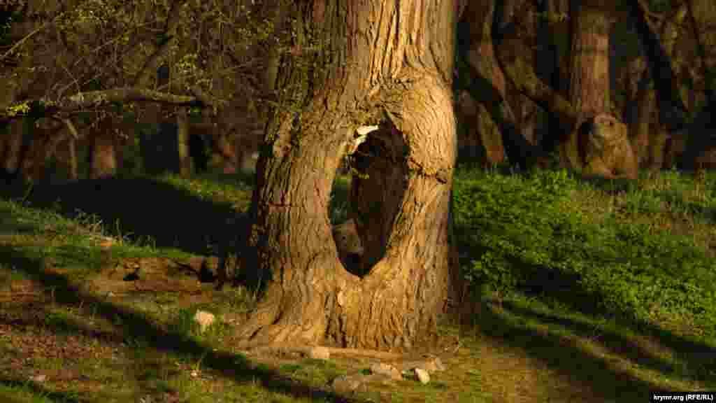 На обоих берегах Салгира у ботсада немало старых и трухлявых деревьев