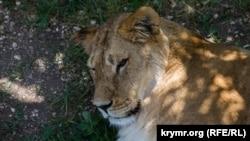 Лев у сафарі-парку «Тайган»