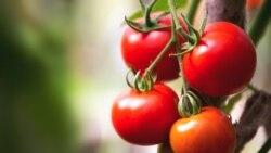 Aşgabatlylar gije gidip, hyýar, pomidor alýar. Media eksport üçin mäş öndüriljegini aýdýar