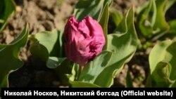Тюльпани в Нікітському ботанічному саду, Крим, березень 2019 року