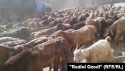 Отара овец. Иллюстративное фото.