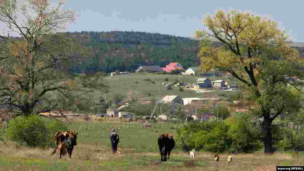 Коровы и собаки тихо бредут за своим хозяином