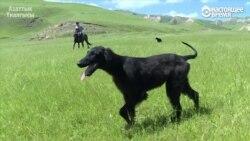 Тайган бегает по горным лугам наперегонки с ветром