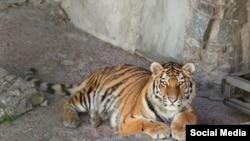 Тигрица Виола. Фото Ленинградского зоопарка