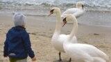 Въпреки епидемията, стадо лебеди отново долетя да зимува на плажа във Варна
