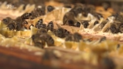 Як німці рятують бджіл – відео