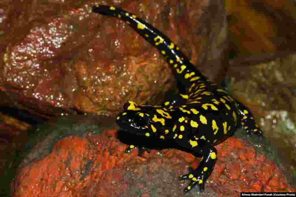 سمندر آتشين،Salamandra infraimmaculata،پراکندگی در ايران:کردستان،طول کل بدن:۳۲ ميليمتر