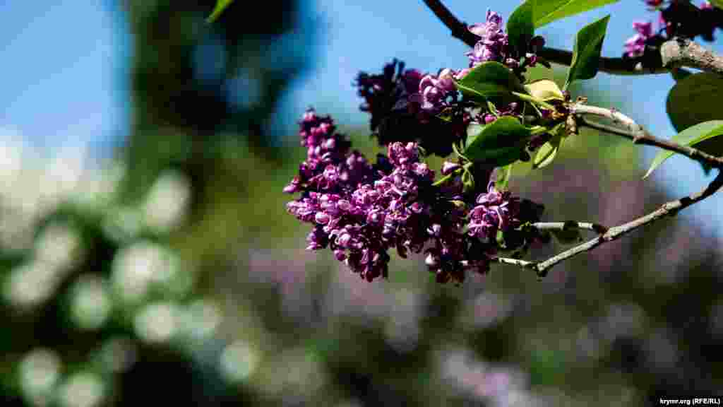 В ботаническом саду имени Николая Багрова, который находится на территории «Крымского федерального университета», цветет сирень