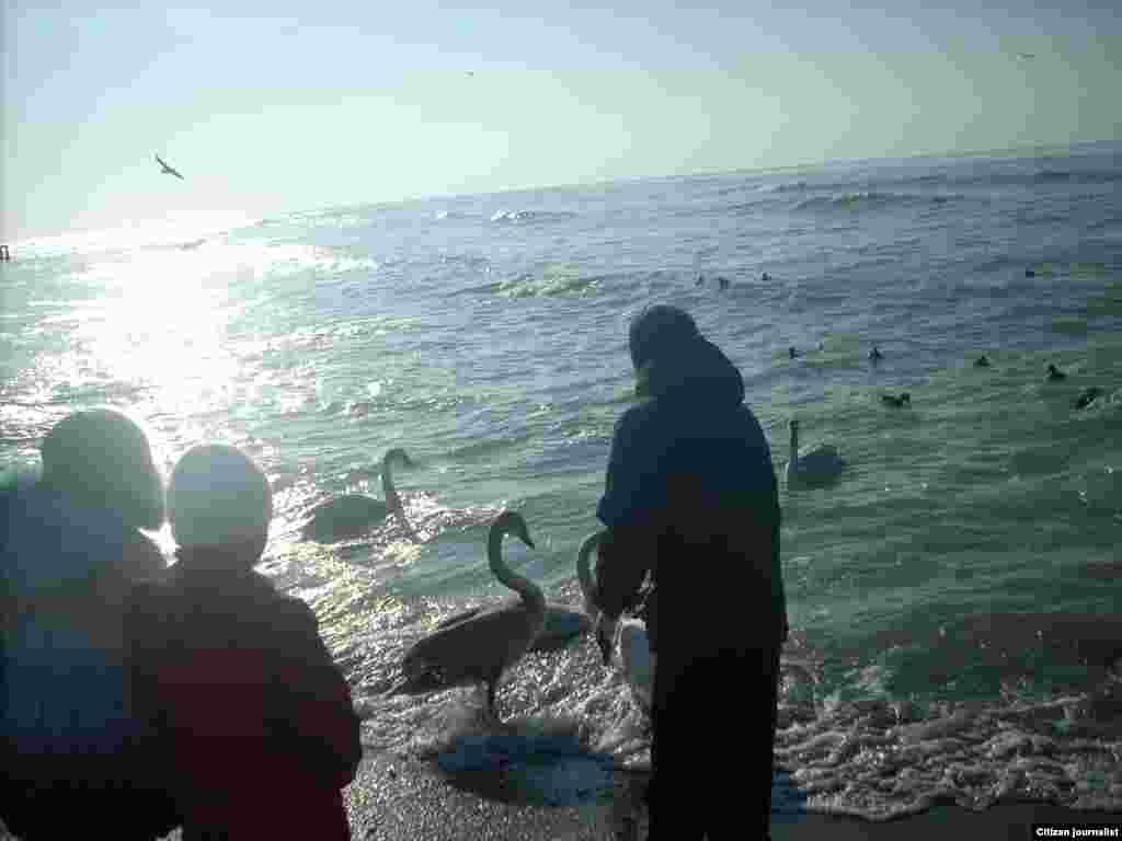 Дети кормят лебедей, зимующих в Актау. Автор снимка Бейбит Стамгалиев.