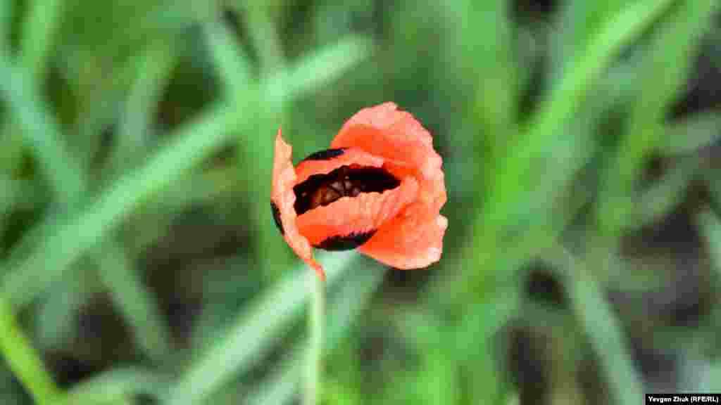 Необычно рано в некоторых местах закраснел мак-самосейка. В Севастополе массовое цветение, как правило, приходится на середину мая