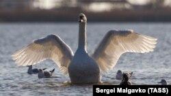 Озеро стало опріснюватися: як солоний Сасик-Сиваш став улюбленим місцем лебедів (фотогалерея)