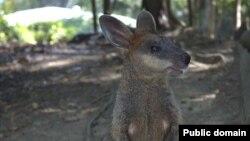 Карликовоий кенгуру валабі
