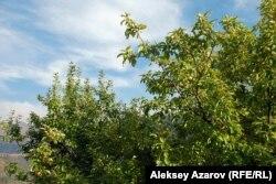 Яблоня Сиверса, растущая по пути к Кокжайляу, включена в Красную книгу. Алматинская область, 12 сентября 2015 года.