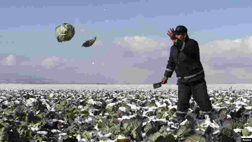 A man harvests cabbages in his field before sending them to market in the village of Komorane near Pristina, Kosovo. (Reuters/Hazir Reka)