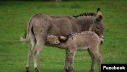 По словам специалистов, в Китае из шкуры осла изготавливают дорогостоящие препараты.
