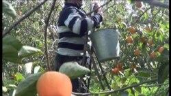 """""""Pokrovski"""" bazarı bağlandı, Seyfəlidə xurma ağacda qaldı"""