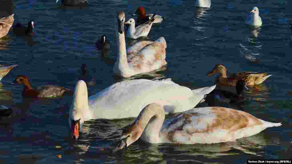 Лебеди собирают в воде кусочки хлеба
